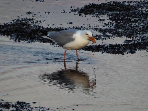 Herring gulls at Pinkewad, wadden