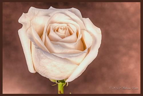explore mygearandme ruby5 soenature flowerrosebeautymacrocanondetail