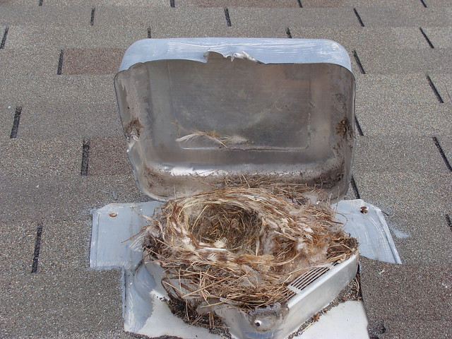Bird nest in dryer vent roof termination the colony tx