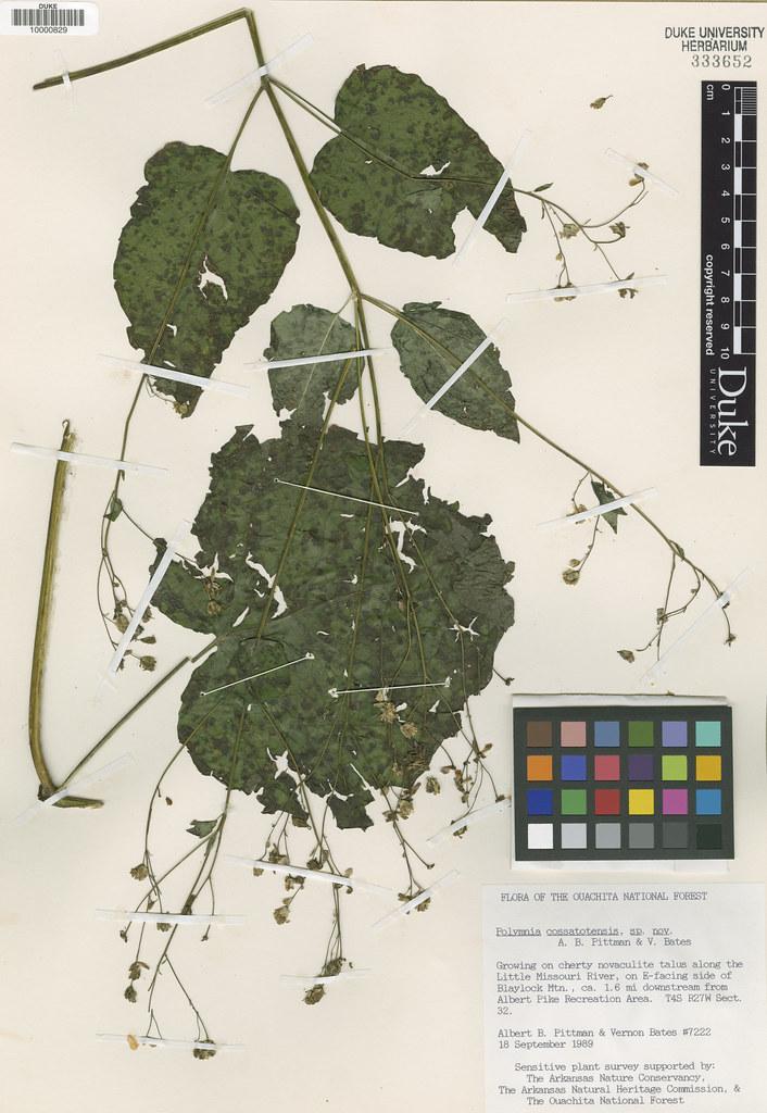 Asteraceae_Polymnia cossatotensis