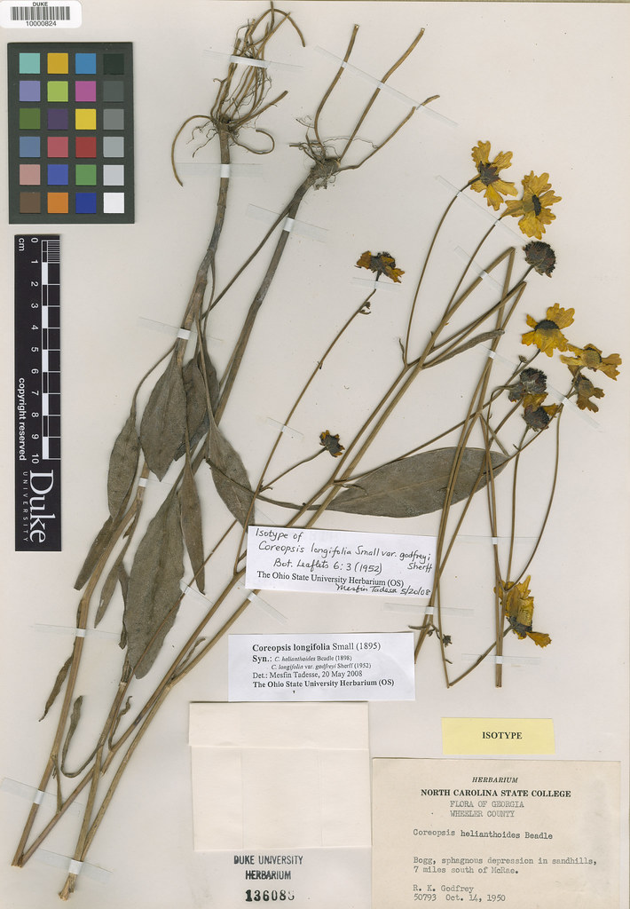 Asteraceae_Coreopsis longifolia