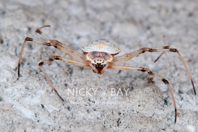 Nephilidae - DSC_2153