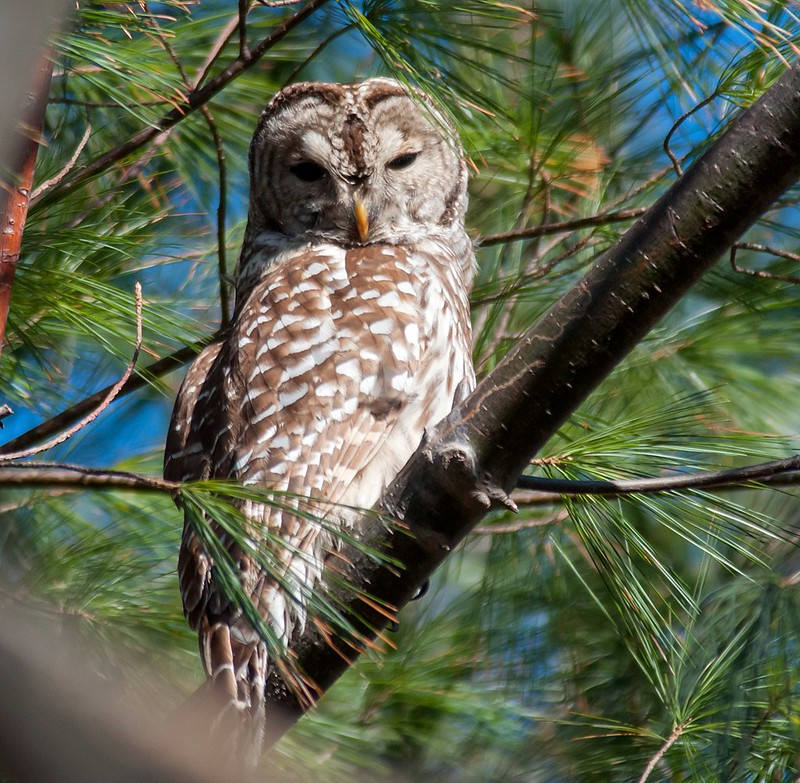 Barred Owl 12/23 -1