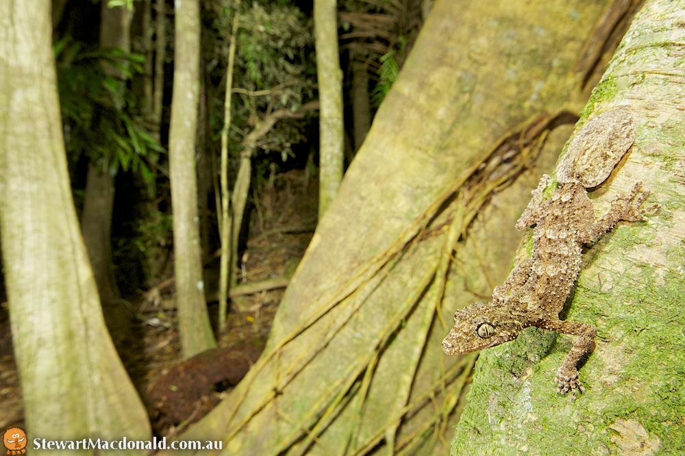 Moritz's leaf-tailed gecko (Saltuarius moritzi)
