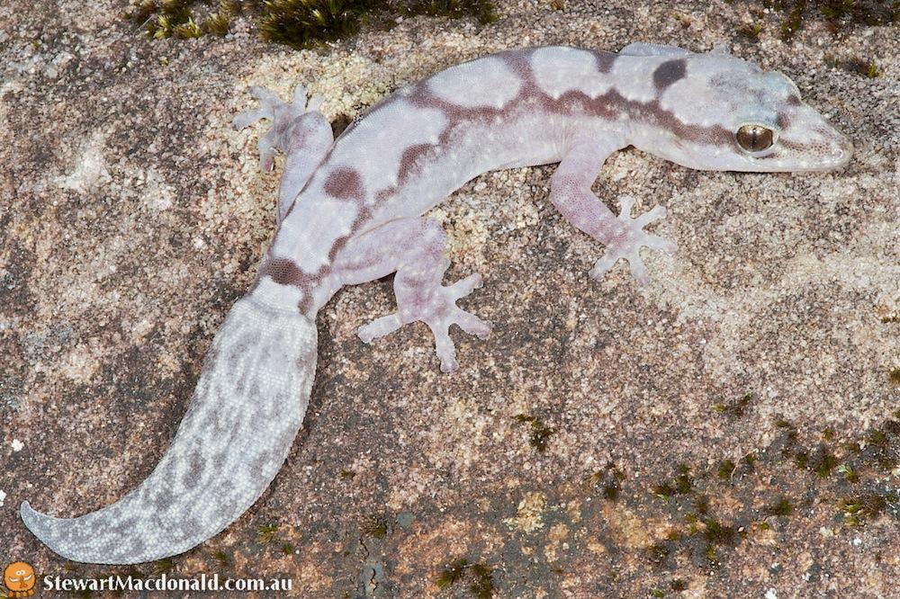 Robust velvet gecko (Oedura robusta)