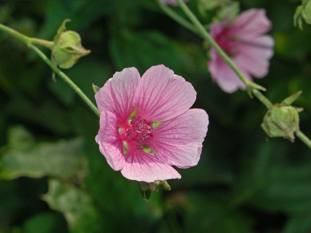 Header of Althaea cannabina
