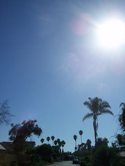 california_palm_trees7