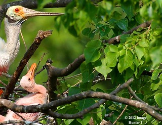 From May: Roseate Spoonbill & Chick