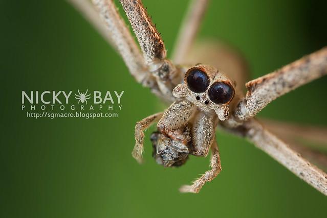 Net-Casting Spider (Deinopis sp.) - DSC_3304