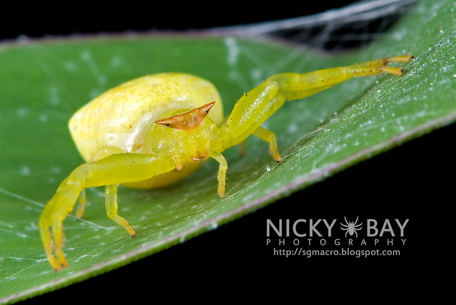 Crab Spider (Thomisidae) - DSC_7967