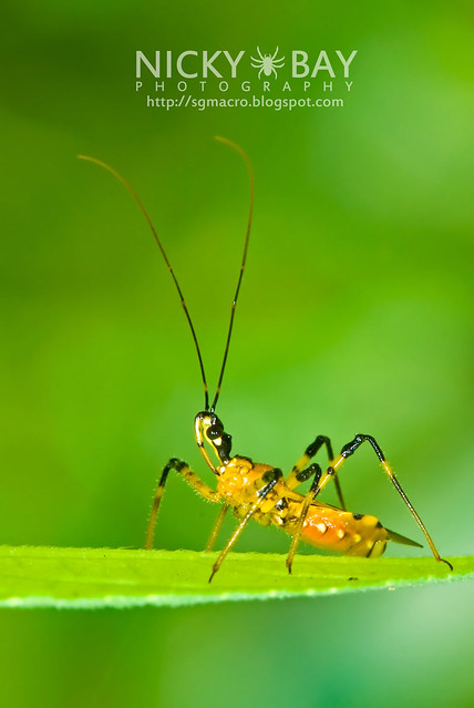 Assassin Bug (Reduviidae) - DSC_5418