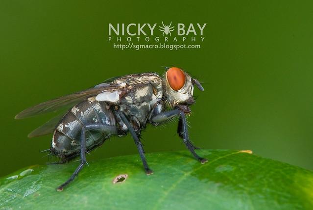 Flesh Fly (Sarcophagidae) - DSC_7557