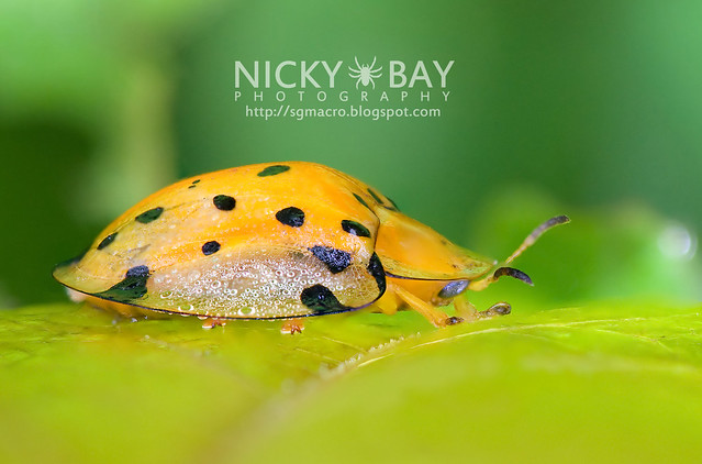 Tortoise Beetle (Hispinae sp.) - DSC_2998