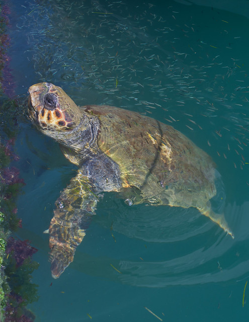 Loggerhead turtle in Argostoli Lagoon 5