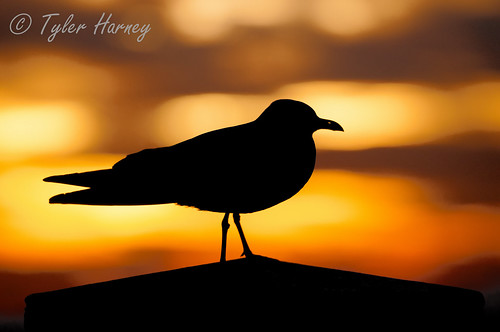 sunset sea wallpaper sky cloud brown sun black detail bird beach colors birds silhouette yellow contrast sunrise lens photography gold golden amazing nikon kiss moments shot florida background gull sharp tyler photograph frame com mm 70200 2009 2010 clearwater ornage harney 2011 nikor d300s