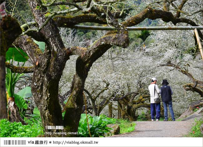 【信義賞梅】烏松崙森林渡假營~烏松崙賞梅最佳去處!