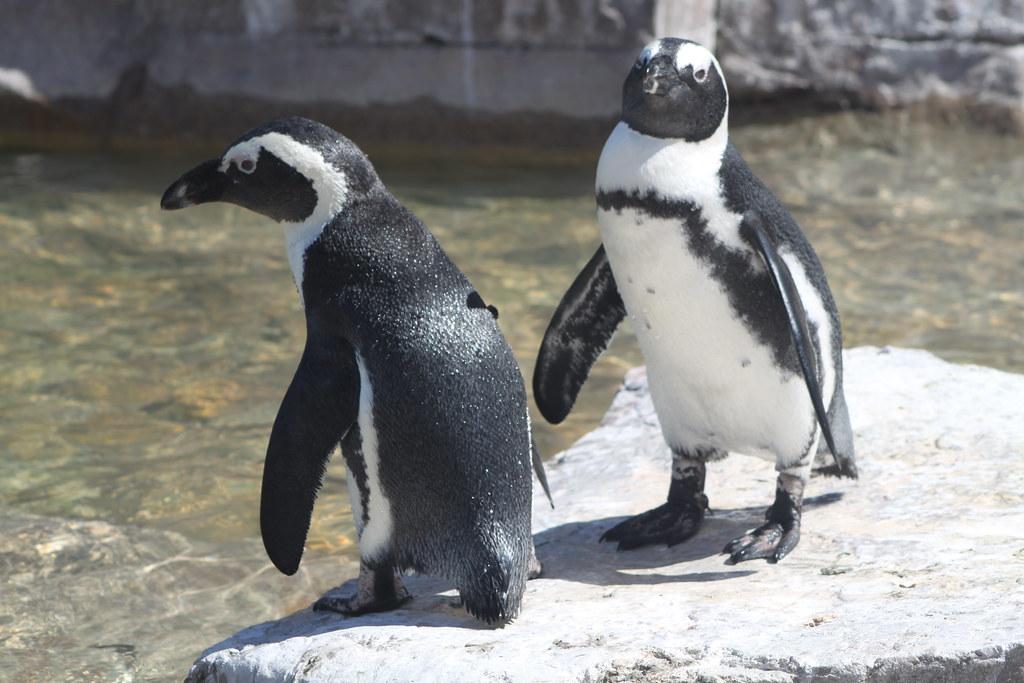 Two African penguins, Samrec