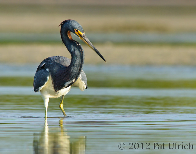 Tricolored heron at Bunch Beach, Fort Myers