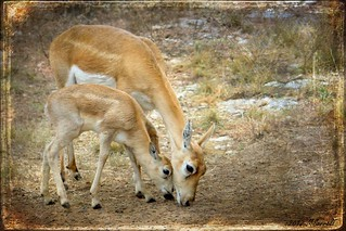 Female Blackbuck Antelope and Fawn