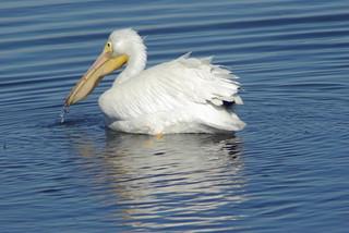 American White Pelican, Bolsa Chica, California