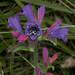 Anthophora (s.str.) alluaudi f by terraincognita96