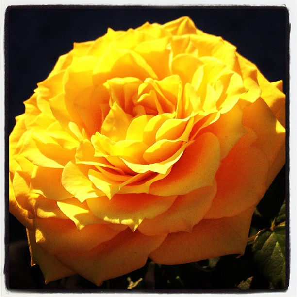 Beautiful yellow roses from @bstreb <3