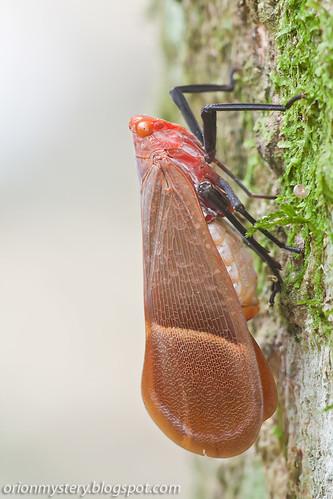 Fulgoridae, Scamandra hecuba IMG_6181 copy