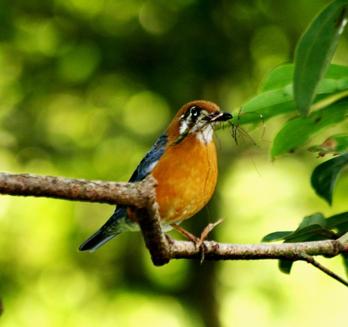 8407960810 a841bf8db1 Zoothera citrina (Orange Headed Thrush) @ Periyar Tiger Reserve