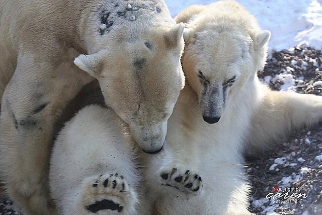 Eisbären Giovanna&Yoghi 2013_01_23 375
