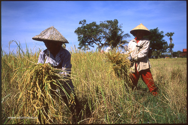 Harvest rice and fabian