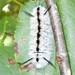 Roan Caterpillars