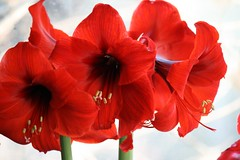 amaryllis red lion 085