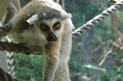 squirrel monkey(0.0), new world monkey(0.0), macaque(0.0), wildlife(0.0), animal(1.0), monkey(1.0), zoo(1.0), mammal(1.0), fauna(1.0), lemur(1.0), old world monkey(1.0),