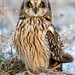 DH27 - Short-eared Owl_Ice by Steve Gifford - IN