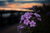 Web flowers & sunset