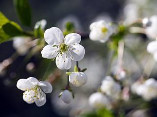 Цветущая вишня (Blooming cherry)