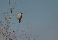 Shrike_49408.jpg by Mully410 * Images
