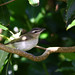 Red-eyed Vireo_799 (Corvo, Azores, 13 Oct 2007) © Dominic Mitchell