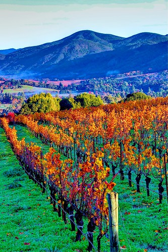 orange green fall colors yellow morninglight vineyard vines wine grapes napavalley napa winecountry