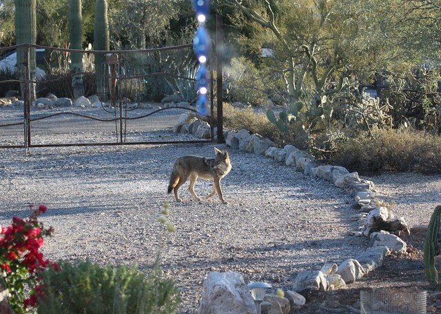 Coyote in Our Front Yard