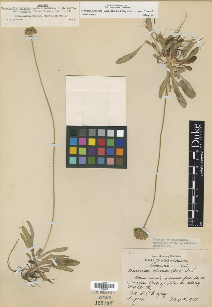Asteraceae_Marchallia obovata