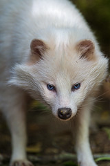 [フリー画像素材] 動物 (哺乳類), 哺乳類 (その他), アライグマ, アルビノ ID:201212241000