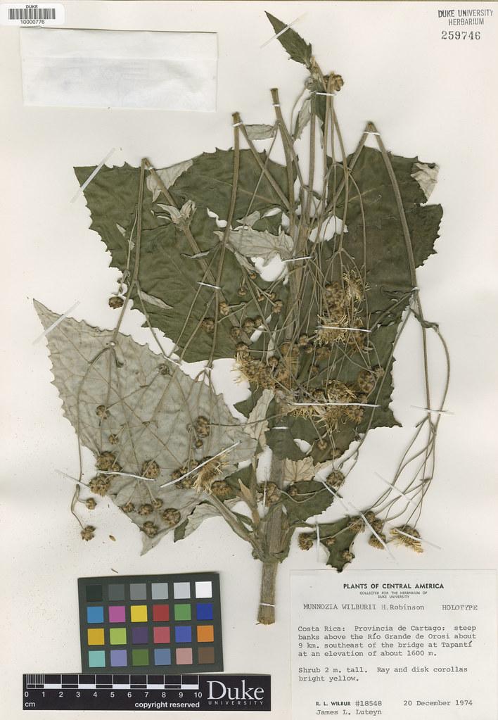 Asteraceae_Munnozia wilburii