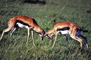 Thomson's Gazelles (Eudorcas thomsonii) fighting