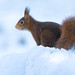 Red Squirrel (Eekhoorn)