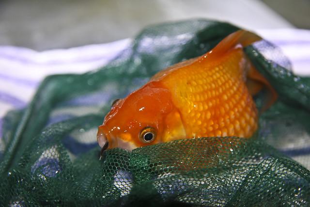Gefr iger goldfisch aquarium im netz flickr photo for Aquarium goldfische