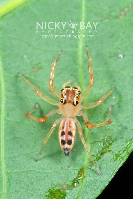 Jumping Spider (Bavia aeroiceps) - DSC_1395