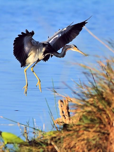 Tricolored Heron landing COREL 20121201