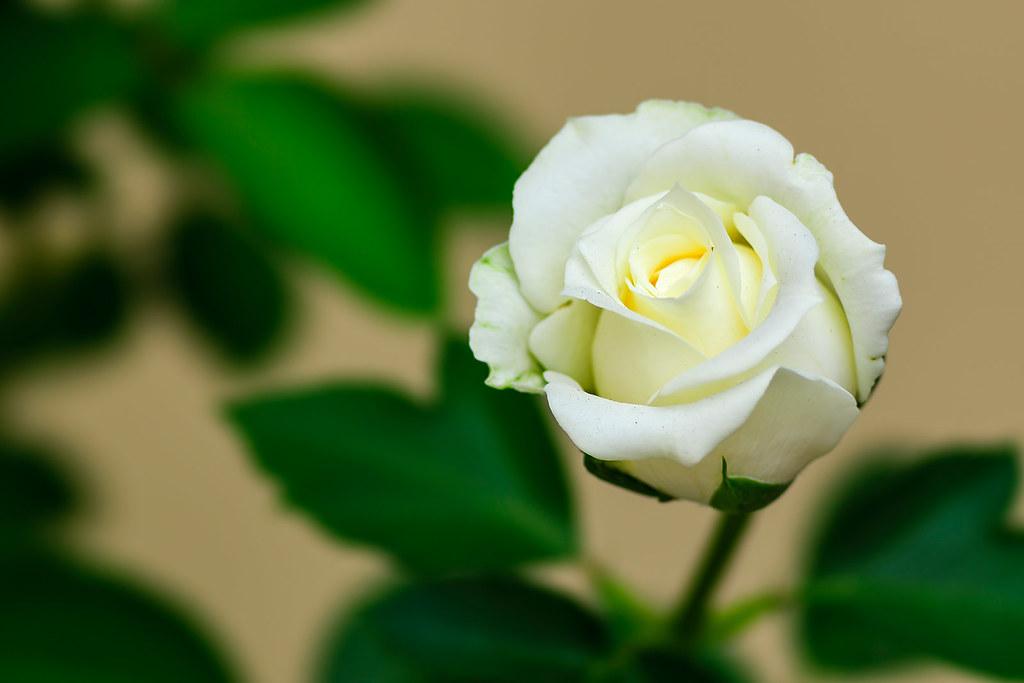 Una pequeña rosa blanca - Sony Alpha