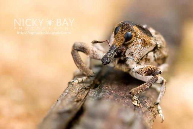 Weevil (Curculionidae) - DSC_9448